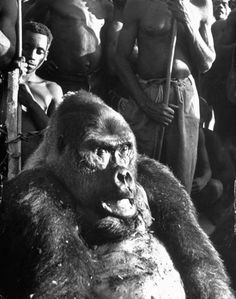 This 450-pound garcon, as the alpha male gorillas were known in French Equatorial Africa, was killed protecting his family, 1951.