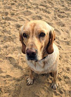 Mein Süßer-Türkischer-Strassen-Hund 'Nice' #dog #Goldenretrievermix #englishpointermix #americangointer #hybriddog