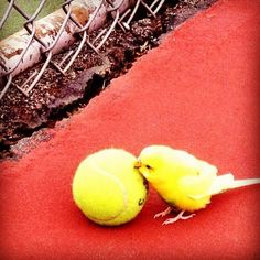 """Bird Nearly Mistaken for Tennis Ball  Tragedy almost struck the BB Atlanta Open this morning when a tournament participant nearly mistook an adorable baby bird for a tennis ball.    """"Andy [Roddick] was about to serve when I yelled, 'Wait! That's a bird!'"""" explained ball boy Toby Sogarten.  Apparently, Roddick was warming up and didn't realize he had put a baby bird in his pocket instead of a ball.    """"I knew something was wrong when I saw that he was about to serve a 'ball' with wings…"""