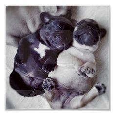 Happy Sleeping Pugs Poster