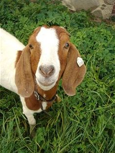 Raising Goats - How To Choose the Goat Breeds For Your Farm.  Me~I love goats! I had one growing up. His name was Willie.