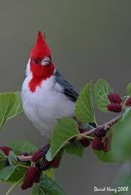 Image result for cardinal bird