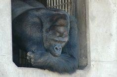 イケメンと話題の東山動植物園のオスのニシローランドゴリラ、シャバーニ