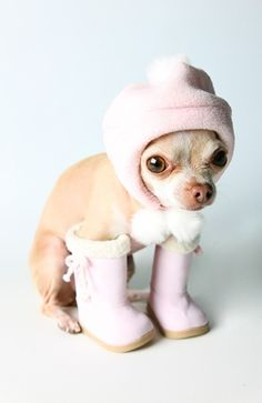 awww. chihuahua puppy is ready for the snow (: