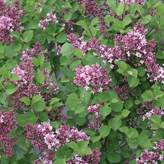 Bloomerang® Dwarf Purple - Reblooming Lilac - Syringa x 30 - 36 inches H/W Planting Shrubs, Garden Shrubs, Balcony Gardening, Garden Plants, House Plants, Purple Lilac, Purple Flowers, Cut Flowers, Dark Purple