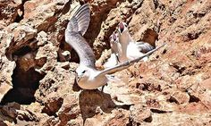 Country diary: Dawdon, Durham coast: It soon became clear that here was a fulmar with a plan