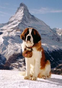 The Saint Bernard was developed in medieval Switzerland as a cart hauler & companion pet for the monks of the Bernardine Hospice. The Saint Bernard is a kind breed, benevolent with children, but its bulk makes it unsuitable for most urban living. Big Dogs, I Love Dogs, Cute Dogs, Dogs And Puppies, Chien Saint Bernard, St Bernard Dogs, Beautiful Dogs, Animals Beautiful, Amazing Dogs
