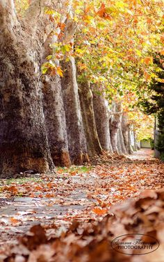 Autumn in Victoria Avenue, Unley Park, Adelaide By: Emma Fleetwood Photography Adelaide Cbd, Time Of The Year, Fall Season, Sunny Days, Paths, The Neighbourhood, Victoria, Around The Worlds, Sky