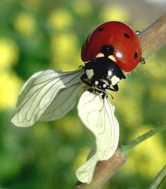 Ladybug trying extra pair of wings~