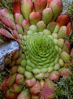 Aeonium glandulosum pink & green succulent