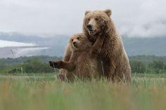 Bear Hug. Brown Bears, Katmai National Park, Alaska - Aaron Baggenstos / 2016 National Geographic Nature Photographer of the Year