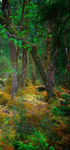 Goblin Forest in the Milford Track - South Island, New Zealand