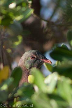 Wary eye - a kereru (Hemiphaga novaeseelandiae) pauses from feasting on karamu berries. Berries, Eyes, Digital, Photos, Animals, Pictures, Animales, Animaux, Bury