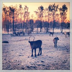 #Reindeer camp Arctic, Finland, Reindeer, Sweden, Camping, Snow, Mountains, Travel, Life