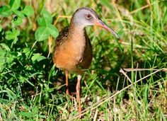 Virginia Rail - A secretive bird of freshwater marshes, the Virginia Rail most often remains hidden in dense vegetation. It possesses many adaptations for moving through its habitat, including a laterally compressed body, long toes, and flexible vertebrae.