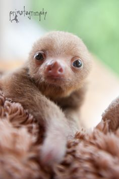 """Is it time for lunch yet mom?"" Baby sloth giving me THE LOOK! I'm hungry! ❤"