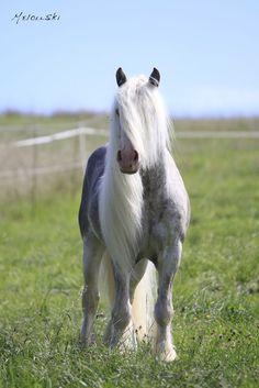 Irish Cobb- such photogenic horses! Cowboy Horse, Horse Girl, Horse Love, Beautiful Creatures, Animals Beautiful, Cute Animals, Most Beautiful Horses, Pretty Horses, Gypsy Horse