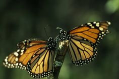 Just like us, butterflies love warm weather! Thousands of Monarch butterflies migrate from Canada to Mexico every year.