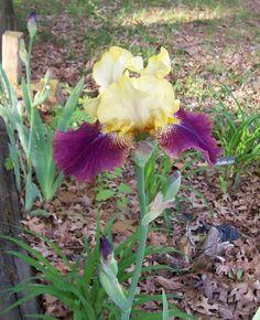 "Tall Bearded Iris - "" Blatant"""