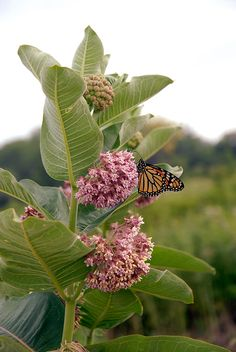 Asclepias syriaca- grow these types of milkweed in chicago to help monarch butterflies Beautiful Butterflies, Beautiful Flowers, Butterfly Garden Plants, Butterfly Feeder, Milkweed Plant, Prairie Garden, Chicago Botanic Garden, Monarch Butterfly, Butterfly House