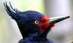 Carpintero Negro o Picamaderos de Magallanes.(Hembra) Campephilus magellanicus,propia de los bosques andino-patagónicos de Chile y Argentina.