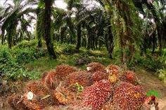 Banks sign off on yearly fund to finance agro-allied other products for export promotion (Read full details) Palm Fruit Oil, Palm Oil, Oil Industry, Sign Off, New Technology, Things That Bounce, Finance, Environment, Nature