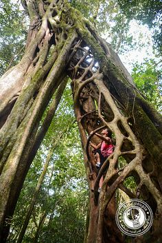 Ficus tree Monteverde Costa Rica by ACruisingCouple, via Flickr