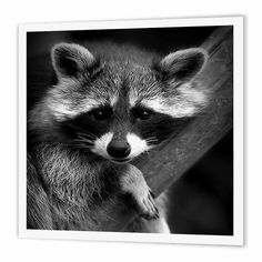 Baby Raccoon black and white digital image., Iron On Heat Transfer, 10 by For White Material, Multicolor Nature Animals, Woodland Animals, Animals And Pets, Baby Animals, Cute Animals, Small Animals, Wild Animals, Funny Animals, Baby Raccoon