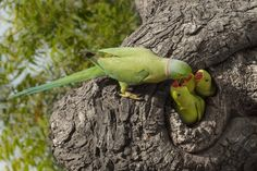 Parrot feeding little by Kailash Kumar on Indian Animals, Belize Hotels, Bird Food, Animal 2, Bird Cages, Habitats, Parrot, Wildlife, Amazing