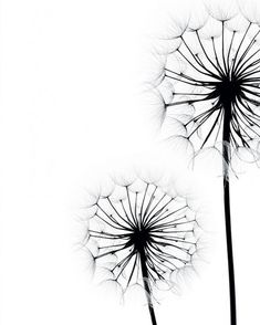 Poster with two dandelions in black and white. The poster is available in large and small larger . Poster with two dandelions in black and white. The poster is available in large and small sizes. Pencil Art Drawings, Art Sketches, Black And White Posters, Wall Art Designs, Geometric Art, Metal Wall Art, Watercolor Art, Wall Art Prints, Cool Art