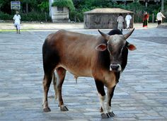 Indian Bull in Trichy, Tamil Nadu_ South India