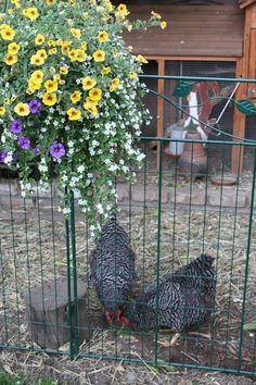 backyard chickens and gardening, can you have a garden and let your chickens roam? A Successful Chicken Garden