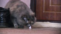 Lady-cat Sonia amusedly plays scrap of paper https://youtu.be/nffgZuenWRQ   #herecats #туткоты