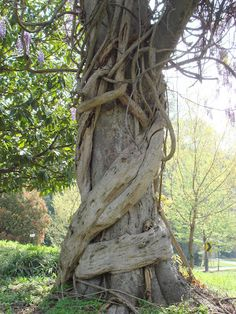 Wisteria vines can be large, strong, & aggressive / John Kitsteiner Flowers Nature, Blue Flowers, Wisteria Tree, What Image, Tree Trunks, Environment Concept, Dark Places, Sculpture, Permaculture