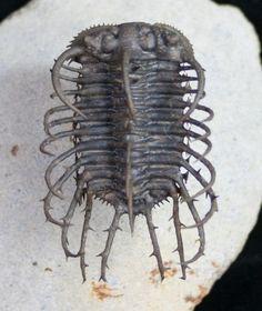 Insane Spine on Spine Koneprusia Trilobite For Sale (#10112) - FossilEra.com