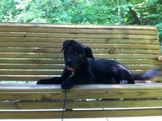 Mona is an adoptable Black Labrador Retriever Dog in Statesville, NC. Sweet Baby Girl Mona has come to HSI when her owner moved and left her behind. She looks to be a Black Lab Golden blend, who is ab...