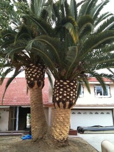 canary date palm tree. other types of palm trees,