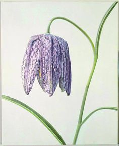 "Rory McEwen - ""fritillaria meleagris"", 1981. watercolour on vellum."