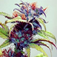 #weed #cannabis #weedlife #thc #w420 #420 name this strain?