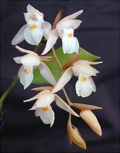 Coelogyne Orchid in Wild | Coelogyne malipoensis Z.H.Tsi 1995 SECTION Hologyne D.A.Clayton. Photo ...