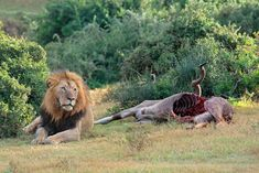 Big male lion sitting next to a kudu carcass. #travel #safari #Africa #wildlife #wild #nature #animals #antelope #kudu #male #bull #horns #spiral #lion #mane #carcass #kill #dead Bull Horns, Lion Mane, Male Lion, Wild Nature, Nature Animals, Africa Travel, Spiral, Safari, Wildlife
