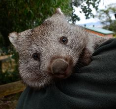 I Found a Way to save the Glenbog Wombats.Thank you for saving my home! Marie and Ray Wynan, along with public pressure, halts logger's bulldozers from destroying wombat burrows.