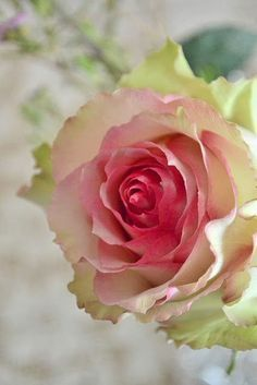 Esperance Rose ..  meaning hope..a bicolor rose with light lime green guard petals; it has a dense, long-lasting bloom