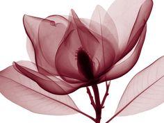 Red Magnolia Red Wall Art, Paper Wall Art, Wall Art Prints, Fine Art Prints, Framed Prints, Xray Flower, Flower Art, Art Flowers, Lotus Flower