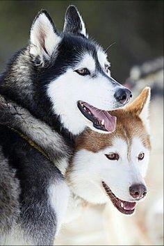 Siberian Husky/バブル時代の象徴となった犬|「Dog Safety 倶楽部 」のファンがつくるサイト