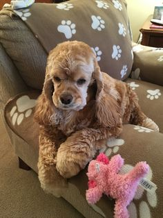 """Figure out more info on """"spaniel puppies"""". Have a look at our web site. Cocker Spaniel Breeds, American Cocker Spaniel, Cute Baby Animals, Animals And Pets, Cocker Bebe, Pet Dogs, Dog Cat, Doggies, Cute Puppies"""