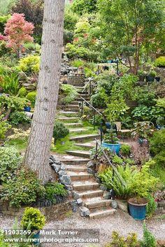1203369 Steps wind through middle of hillside garden w/ Paperbark Maple, Japanese Maples, Sword Fern, Baby Tears groundcover, sh