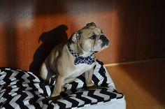 English Bulldog, Mr. Beefy
