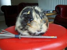 Dressed+up+guinea+pigs | ... :My Guinea Pig looked sad, so, course, I dressed her up