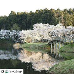 【tome_stagram】さんのInstagramをピンしています。 《#Repost @ayk25sep with @repostapp ・・・ 私の大好きな場所 春が待ち遠しいです 沼の回りに桜の木がぐるーっと🌸  #2016年4月末撮影 平筒沼  #とっておきの登米 #tome_stagram #JAPAN #宮城県 #登米市 #平筒沼の水面に映る桜  #平筒沼 #桜 #沼 #桟橋 #春 #sakura #spring #自然 #natural #カメラ好き #写真好き #一眼レフ #Canon #EOS  #ファインダー越しの私の世界 #カメラ好きと繋がりたい #写真撮ってる人と繋がりたい #世界》
